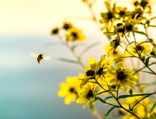 The Fight of the Bumblebee (and What We Can Do to Help)